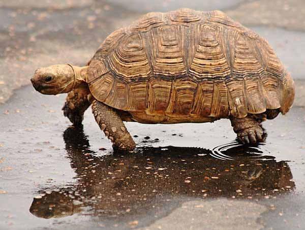 Leopard tortoise © Scotch Macaskill