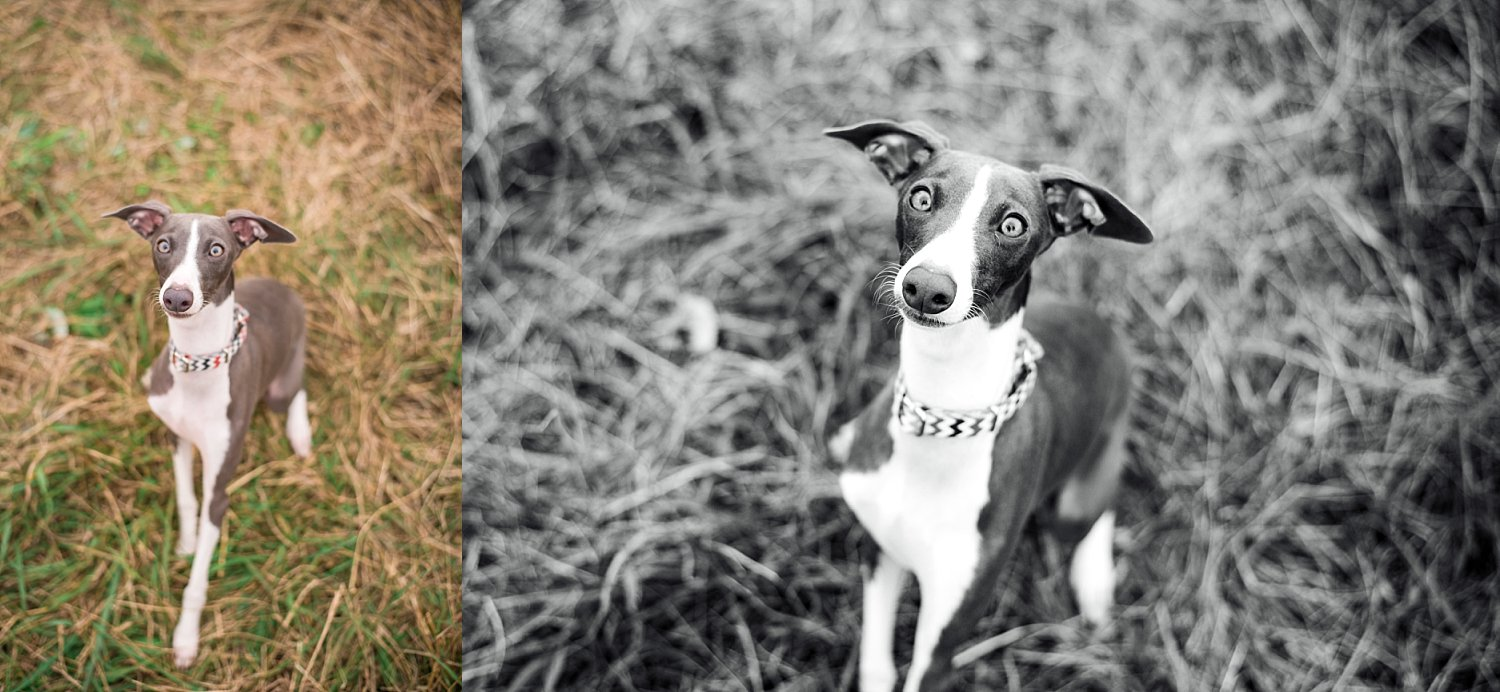 Italian Greyhound puppy, grey, sitting in grass at Berry Patch Farms