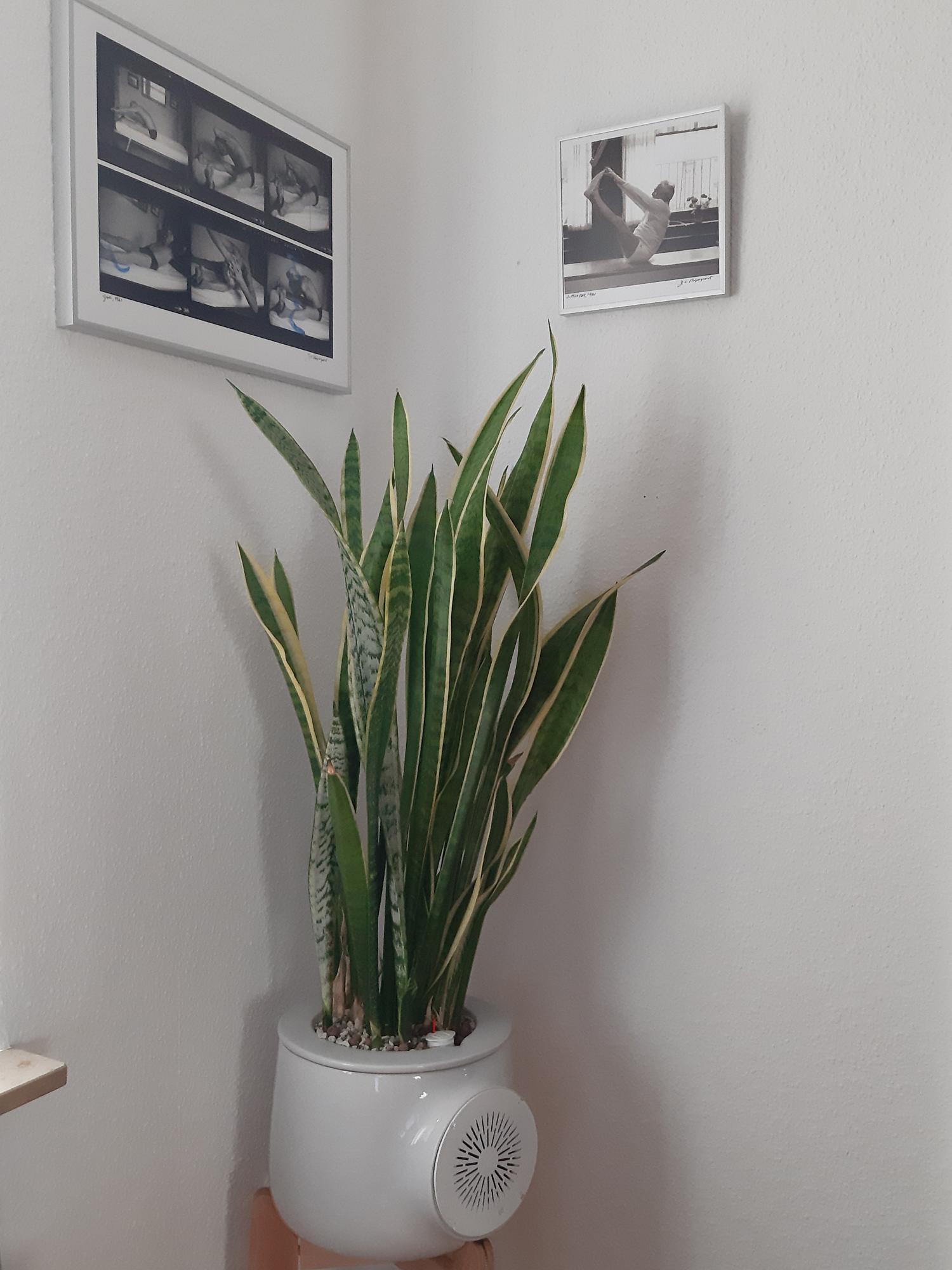 Bogenhanf in einem Clairy Pflanzentop mit Lechuza Substrat und gleichzeitig auch Meßstation.