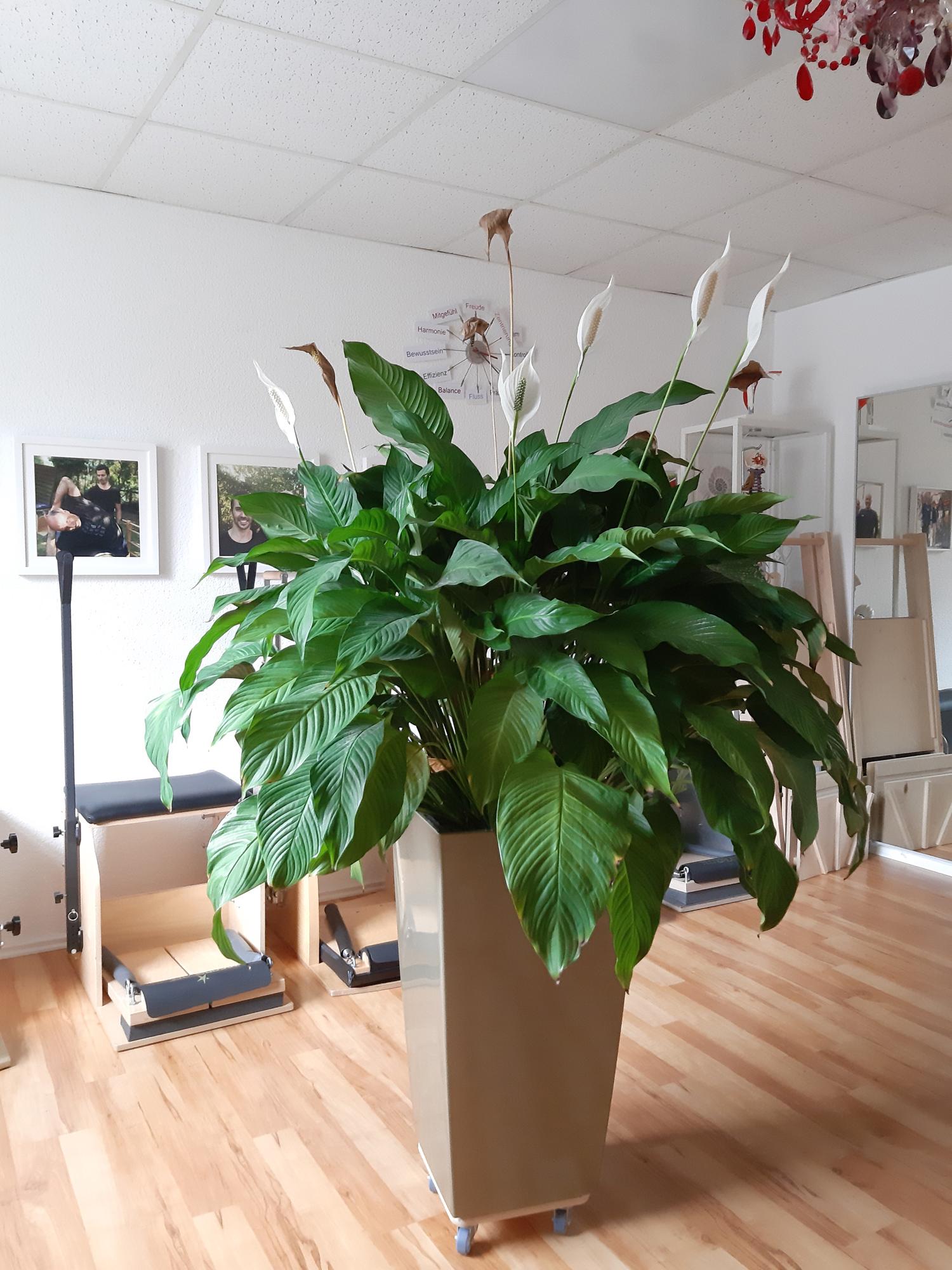 Einblatt - Spathiphyllum oder Scheidenblatt, Blattfahne, Friedenslilie - in Lechuza Pflanzgefäß und Substrat im Wunda Chair Raum