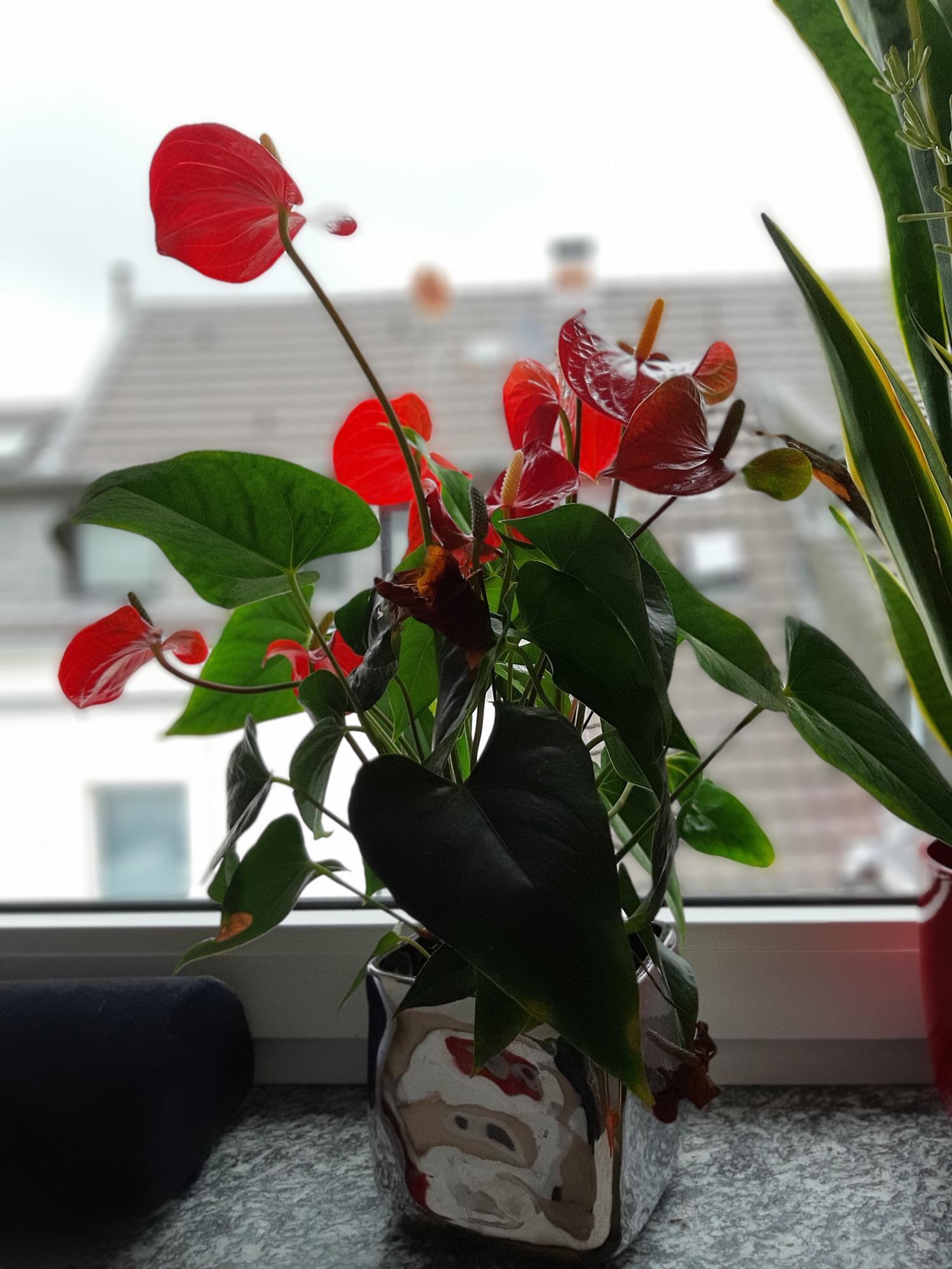 Flamingoblume, auch Anthurien genannt, ein Geschenk von unserer Yoga-Vertretungslehrerin Britta.