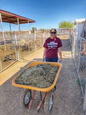 Monica Cordova, Sophomore in Conservation Ecology, mucks out sheep pens before heading back to class.
