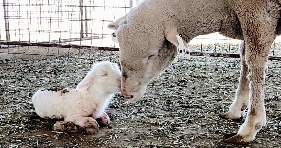 New born lamb, born while on the farm visit.
