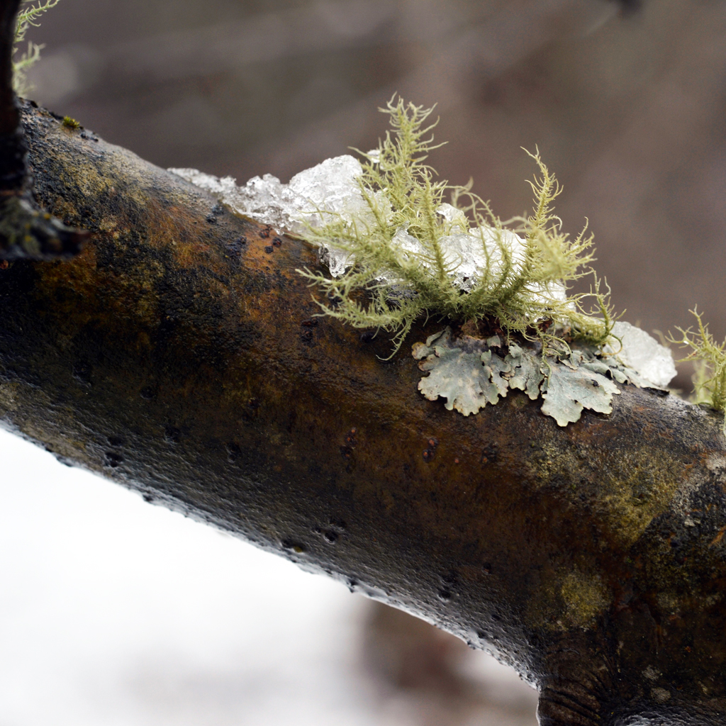 Snow in the orchard, lichen on the limb