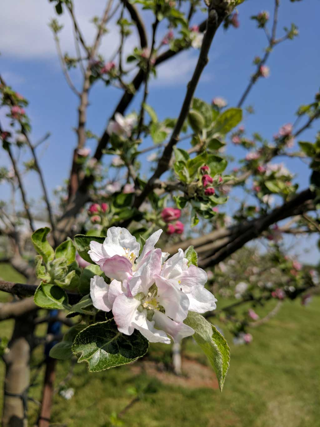 Castle Hill Apple Blossom