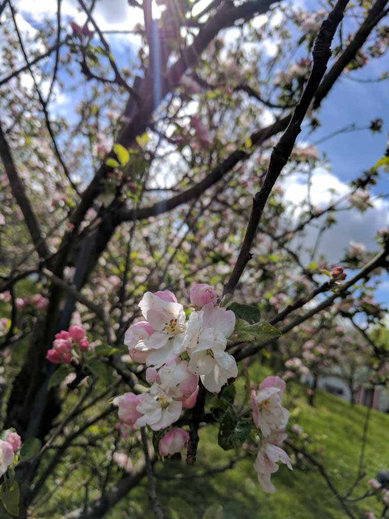 South Hill Apple Blossom