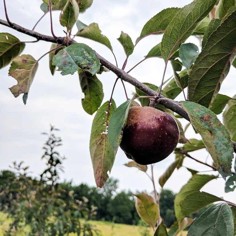 A red flesh apple half way to harvest on the Good Life Organic Farm