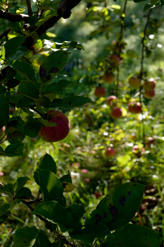Farnum Hill grows their fruit across several orchards in the hills surrounding Lebanon, New Hampshire, including several ancient parcels of land outlined on Farnum Hill itself. A hiking trail runs among the orchards.