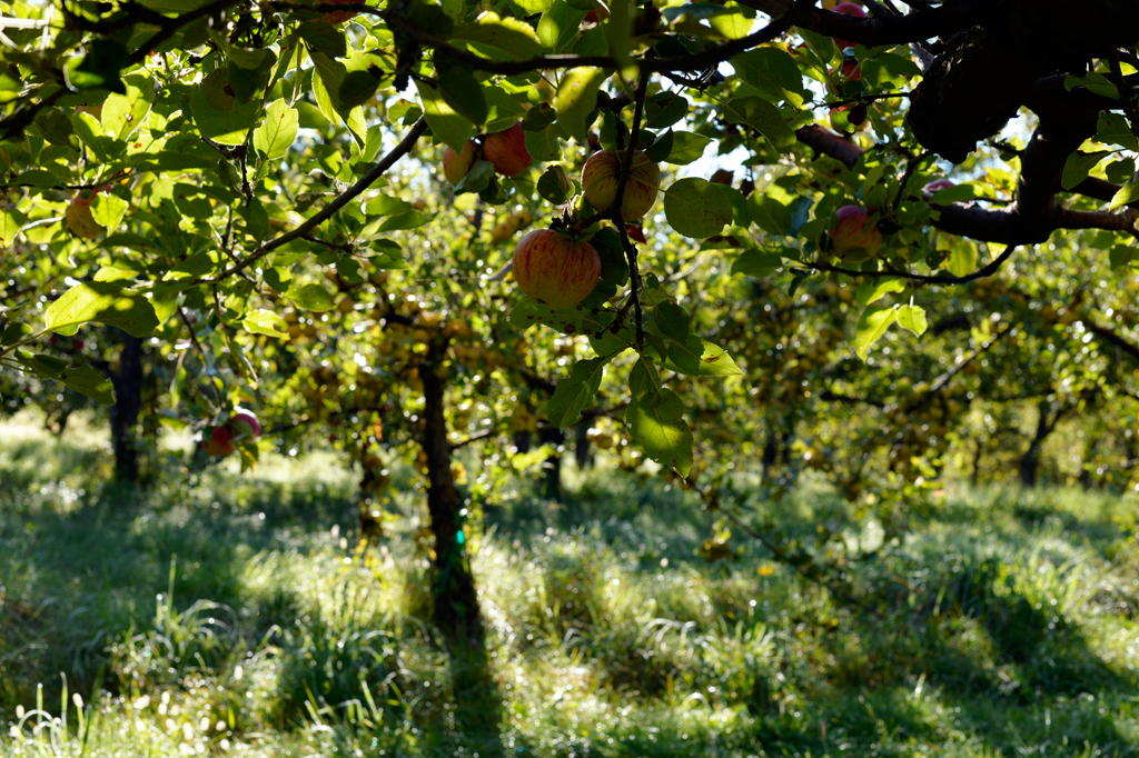 Poverty Lane Orchards understory, just after dawn, first day of harvest
