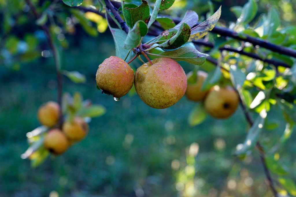 Poverty Lane Orchards cider apples