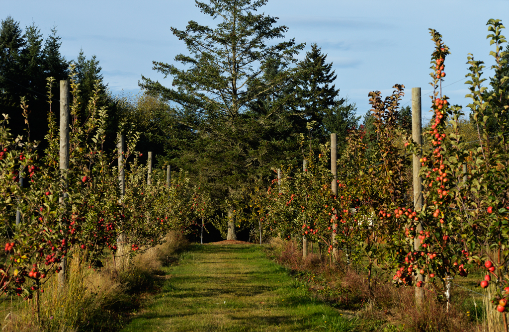 The Dragon's Head orchard is surrounded by native Douglas Fir trees and accessible only by boat — as is the rest of Vashon Island — from nearby Seattle and Tacoma.  The tasting room at the orchard's edge is open weekends, year round, between Noon and 5PM .