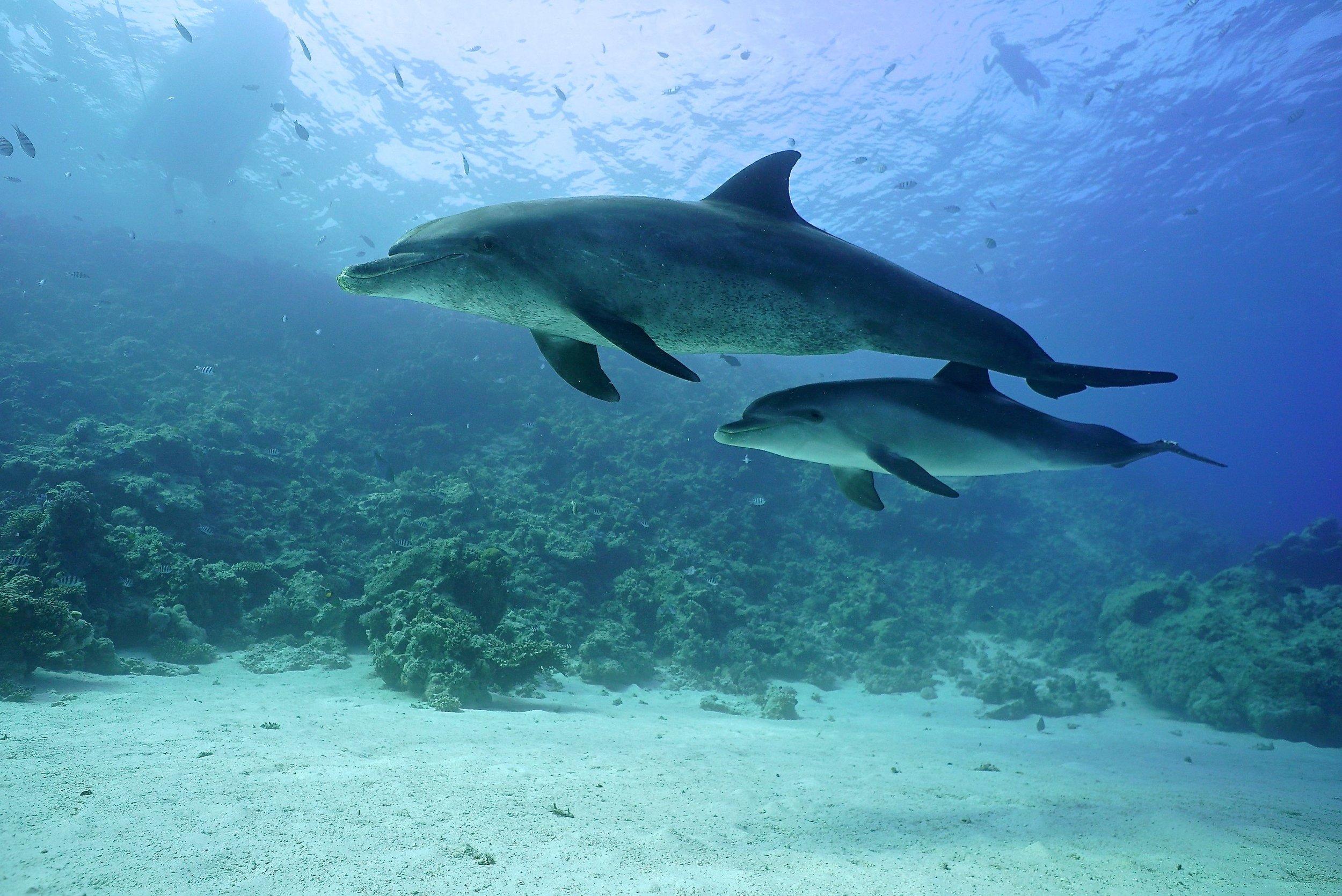 Sha'ab El Erg reef aka Dolphin House © Mark Sharman