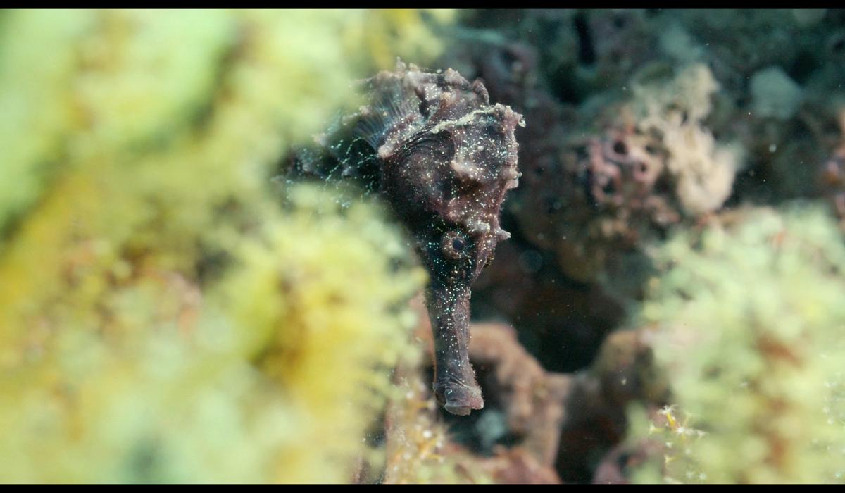 Oman Seahorse.jpg