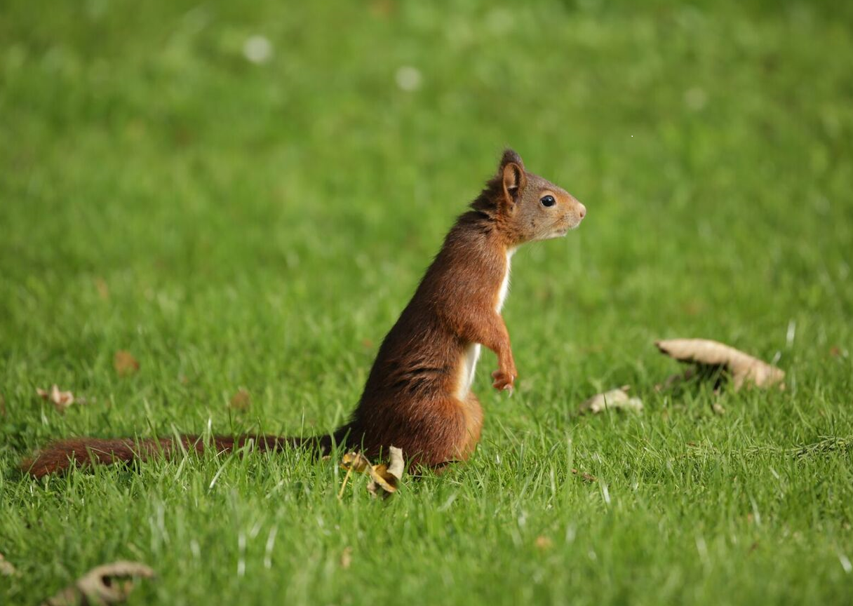 Red Squirrel 5D_1.png