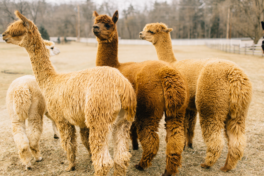 Because ironstone ranch is the literal best. They have alpacas guys.