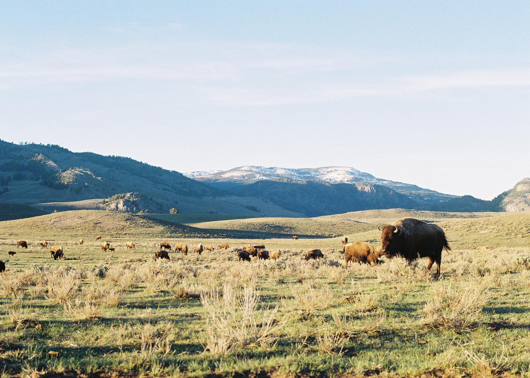 bisonbabes.jpg
