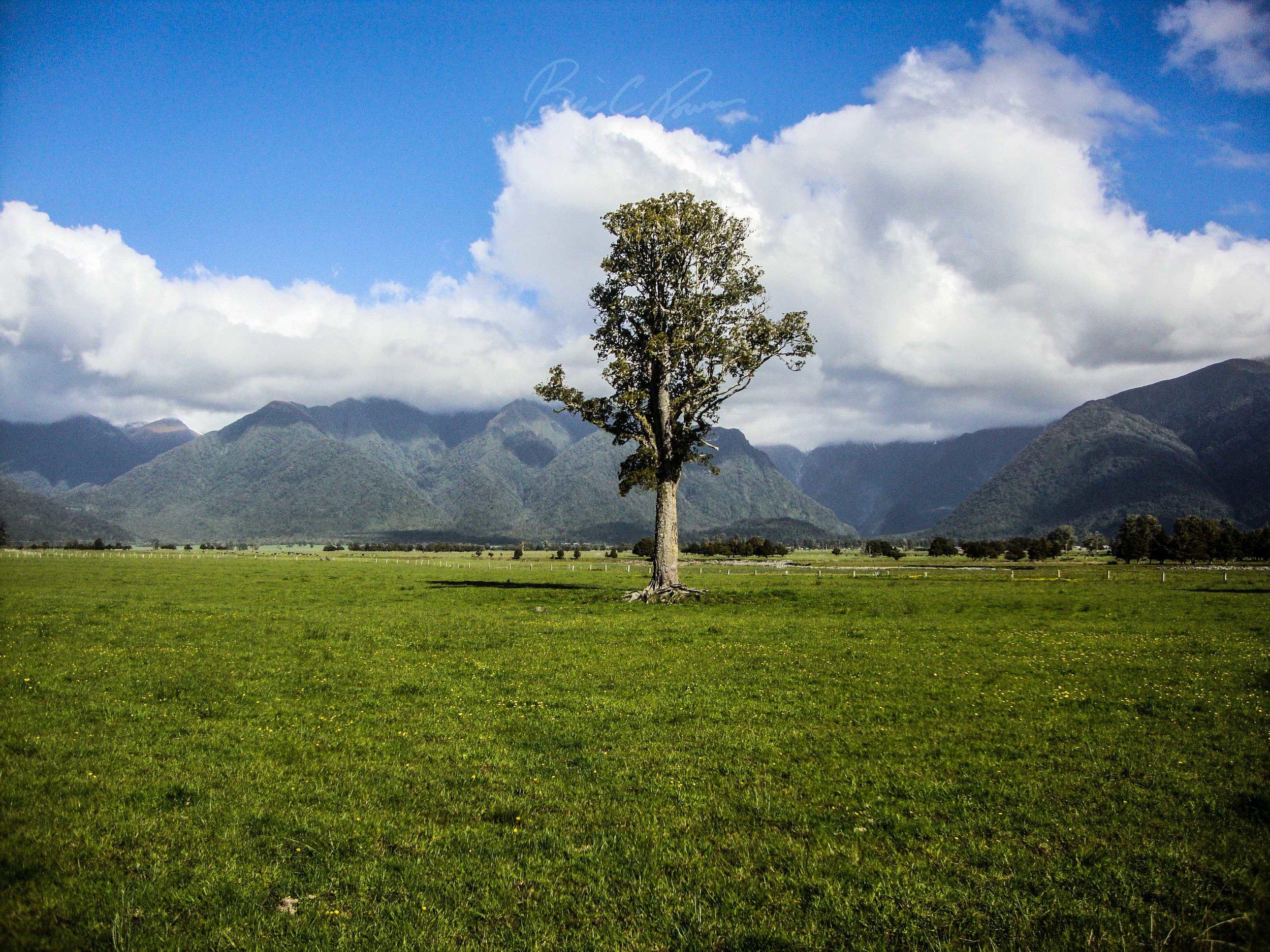 Lonely Tree near Lake Matheson.
