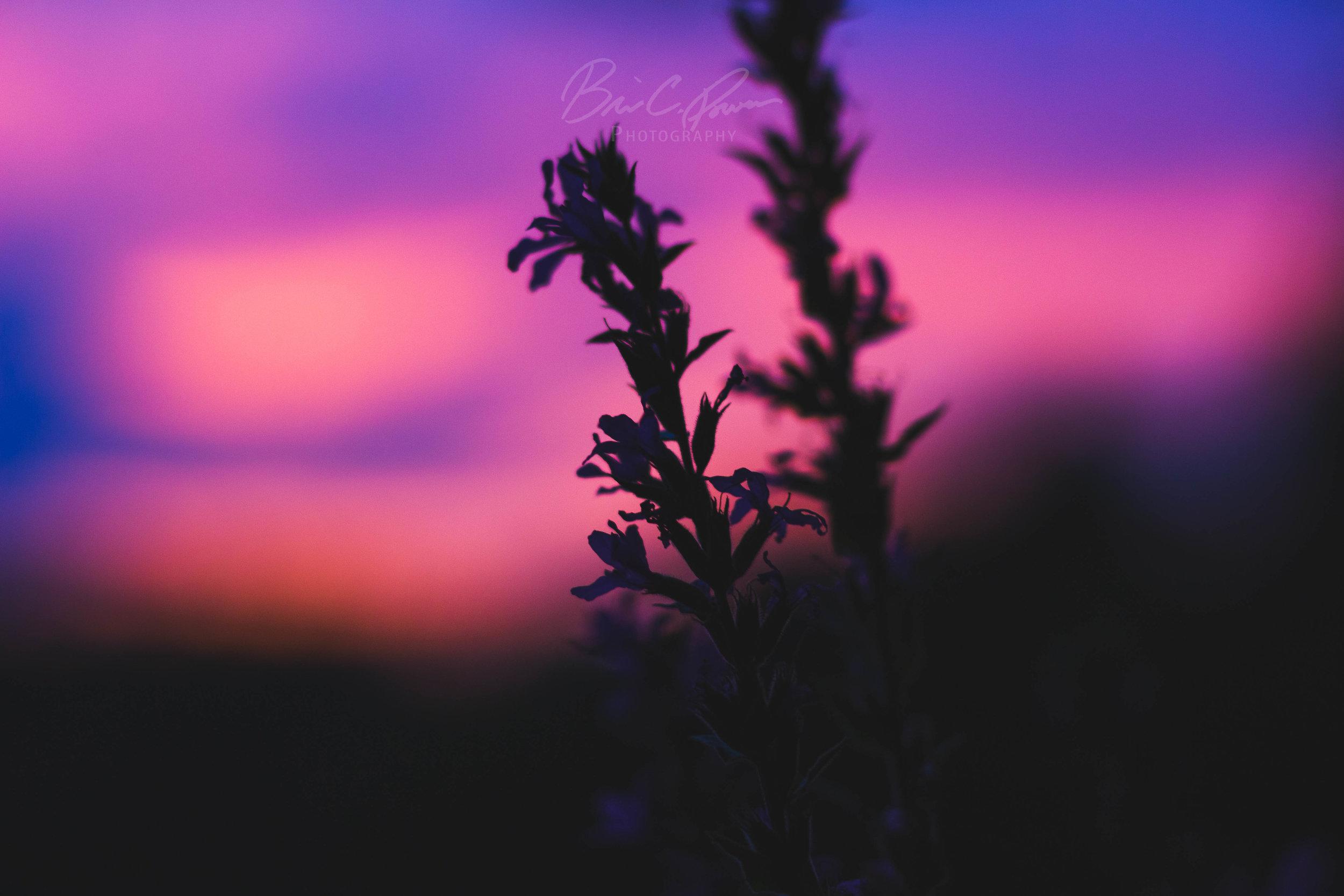 Sunset lupins.
