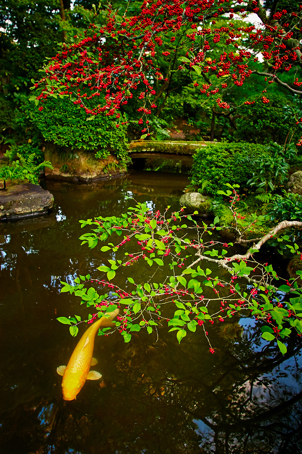 Koi and Pond, Kyoto, Japan