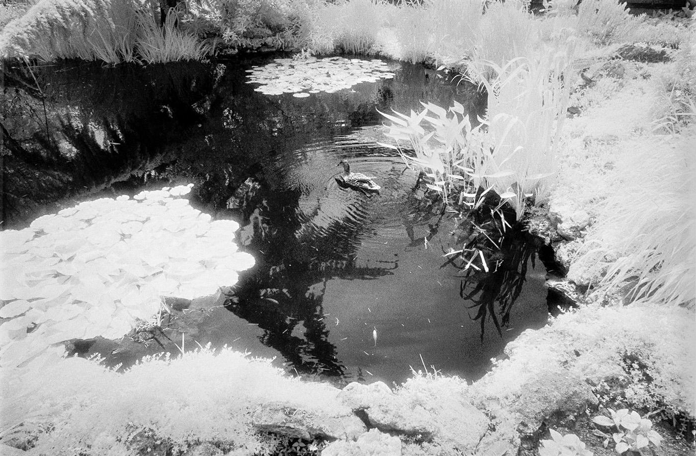 Duck in Pond, United States Botanic Garden, Washington, DC