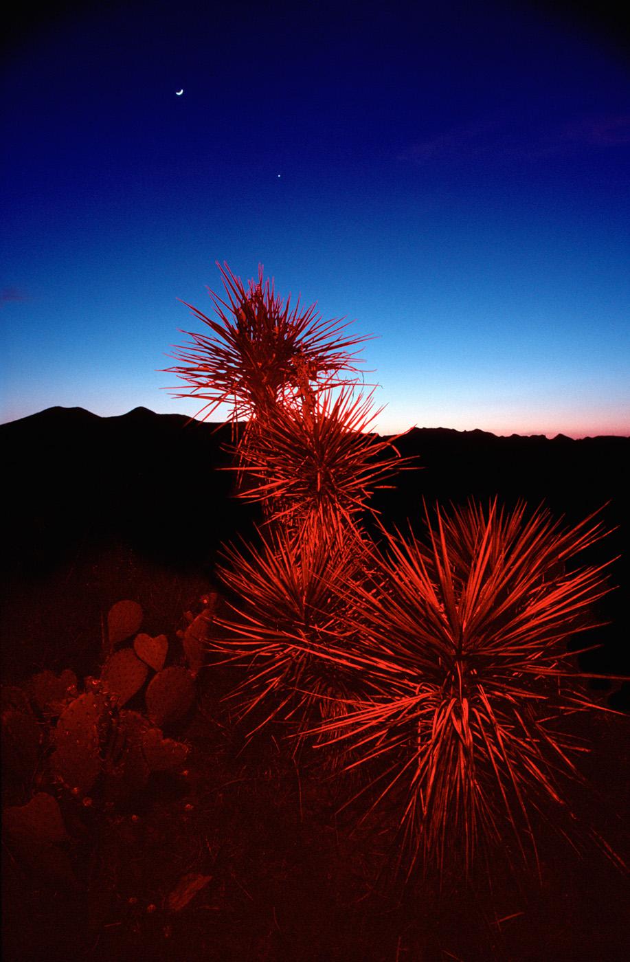 Red Cactus, Big Bend, Texas