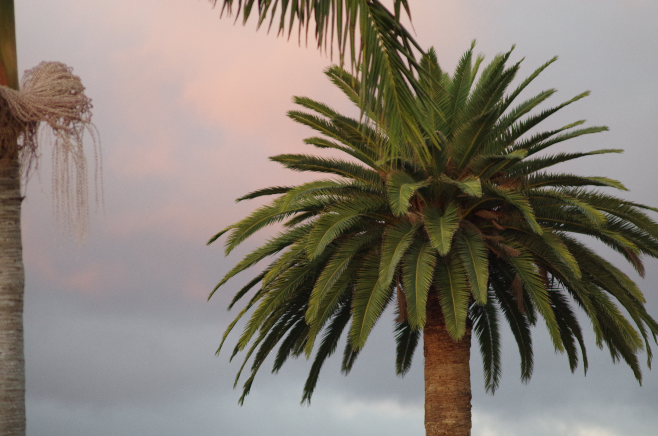 Palm tree at AV.JPG