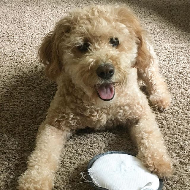 This pup is never happier than when she's gifted a new frisbee toy. Happy 5th birthday Yadi-girl! 🐶 . . #goldendoodlecentral #happybirthdaypup #dogbirthday #birthdaydog #doodletales #dogchild #goldendoodlesofig #doodlelove #puppylover #cutedogs #dogsofinstagram #dogsofinstagram #puppy_tales #goldendoodlemoments #goldendoodleselfie #goldendoodlelove #goldendoodleoftheday #goldendoodlelife #doodleloversofig #goldendoodlesofinsta #doglovers #minidoodle #doodlesofinstagram #dogoftheday #doodlesoftheworld #ohthatsdarling #pawsome #dogstagram #puppygram #dogfeatures