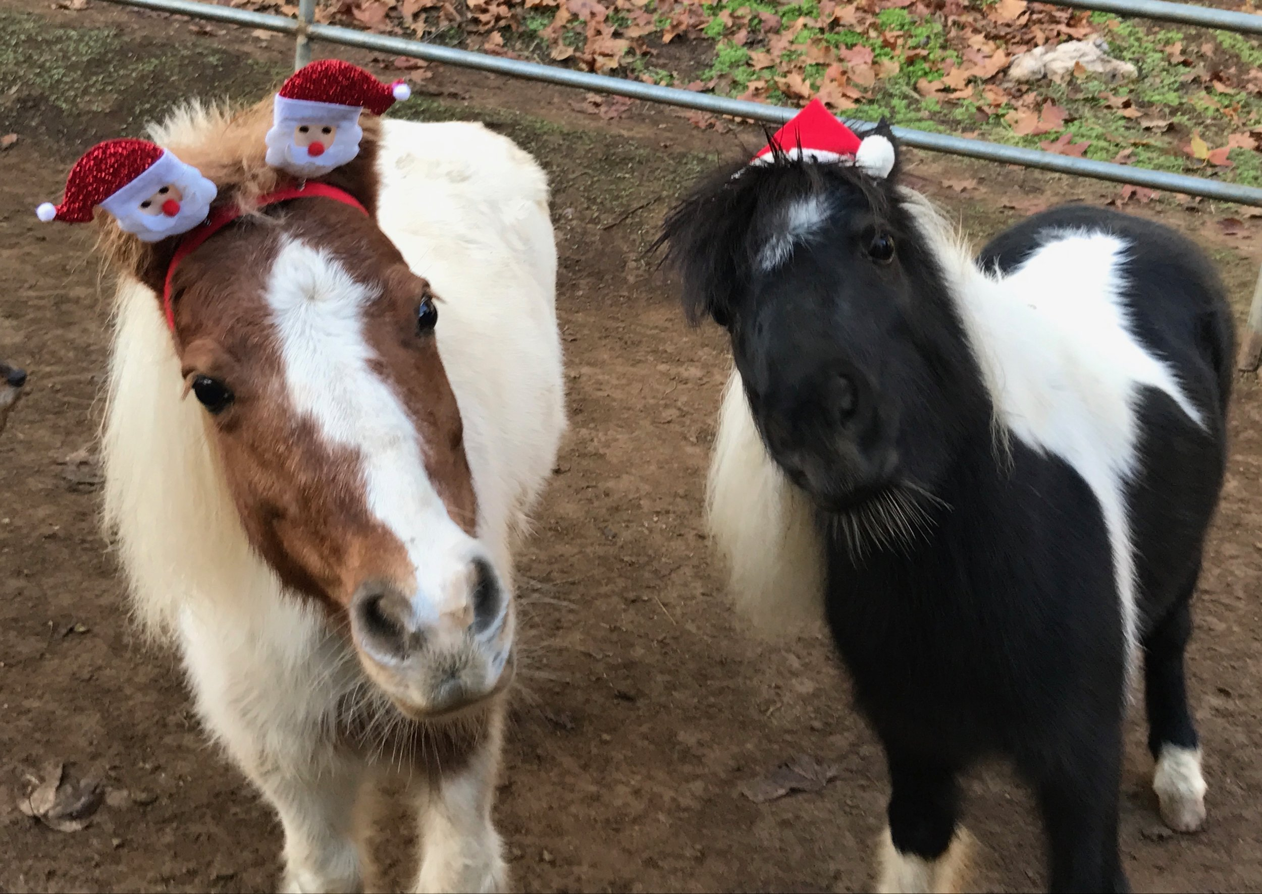 Happy Holidays from RB's Buttercup & Blackjack!