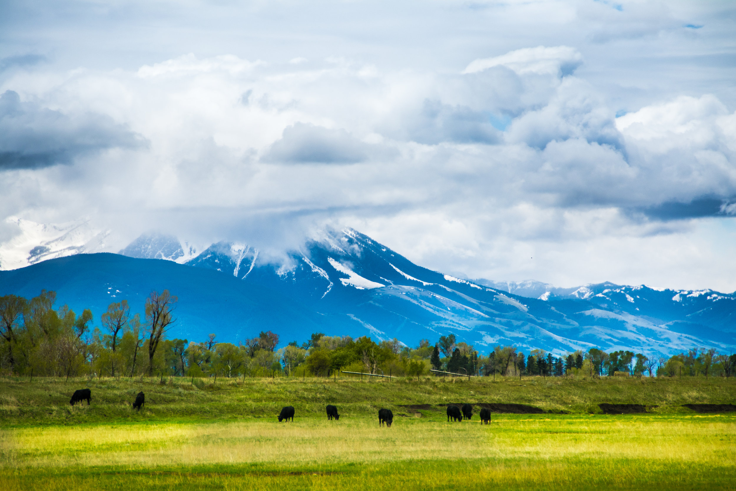 cattle grazing in montana. photo: Hannah Lorsch/shutterstock