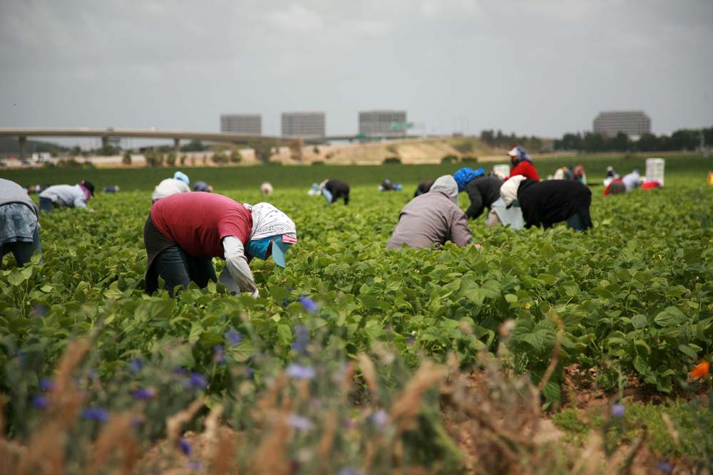 FARM WORKERS IN CALIFORNIA. mikeledray/SHUTTERSTOCK
