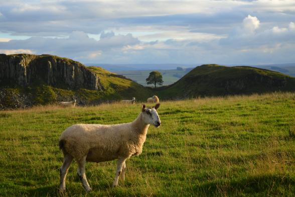 Ram on Hadrian's Wall Hike