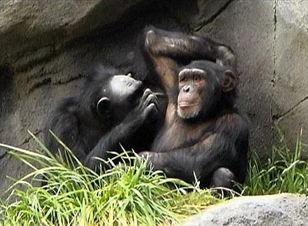 chimp-armpit.jpg