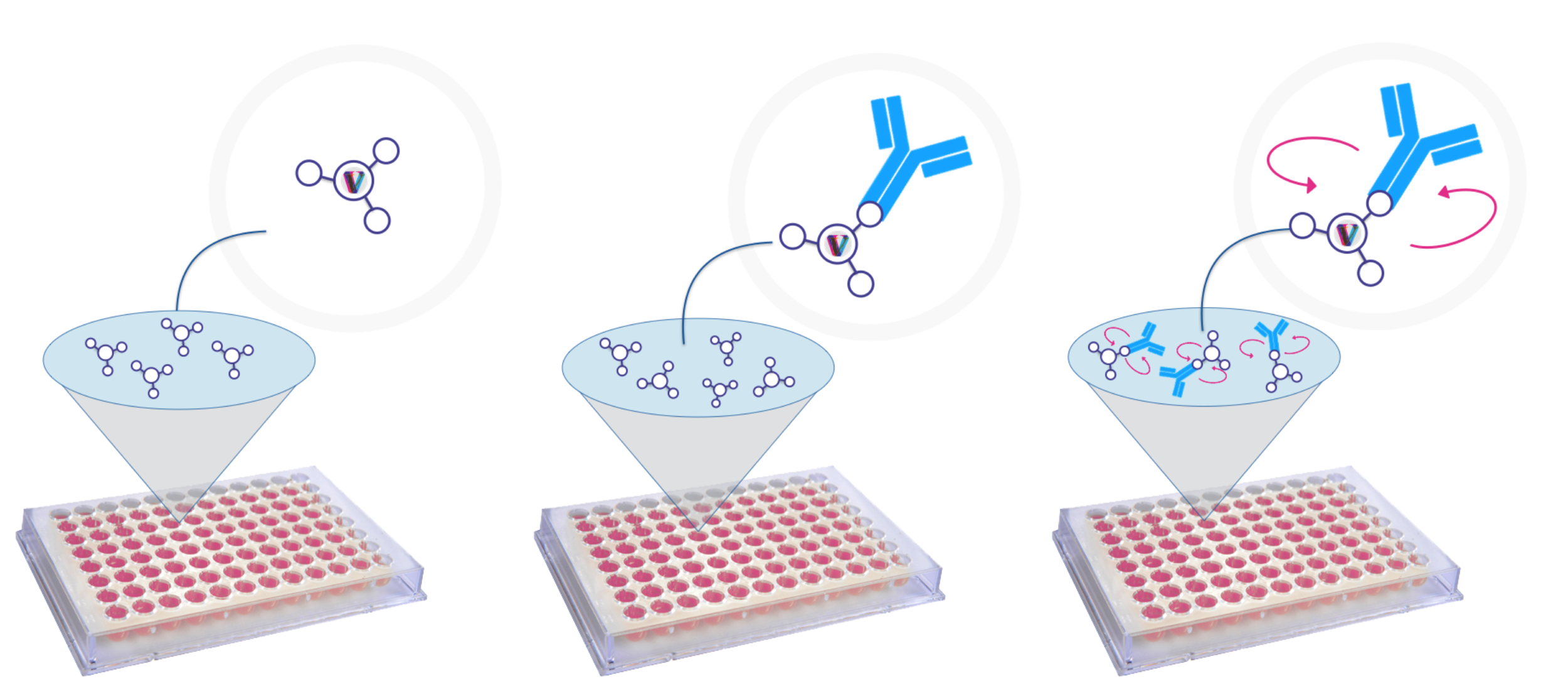1) The Fluoresence Polarisation plate is coated with a fluorescently labelled IgG-binding peptide. 2) When the IgG sample is added, it binds to the fluorescently labelled peptide 3) Binding is detected using fluoresence polarisation