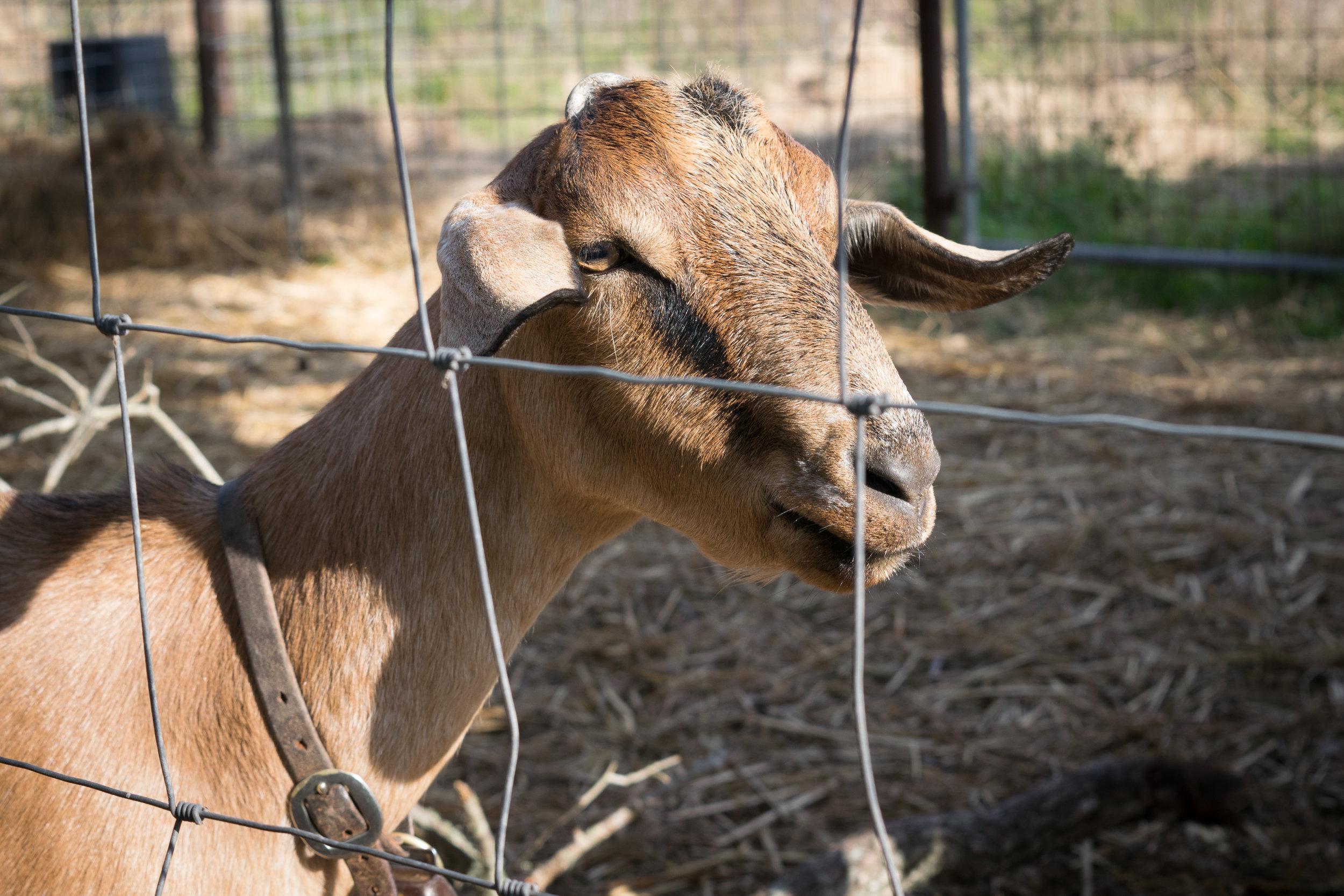 Goat ).jpg