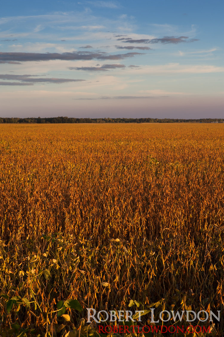 Now with the Power of Soy!  Fields of soy beans prior to harvest.