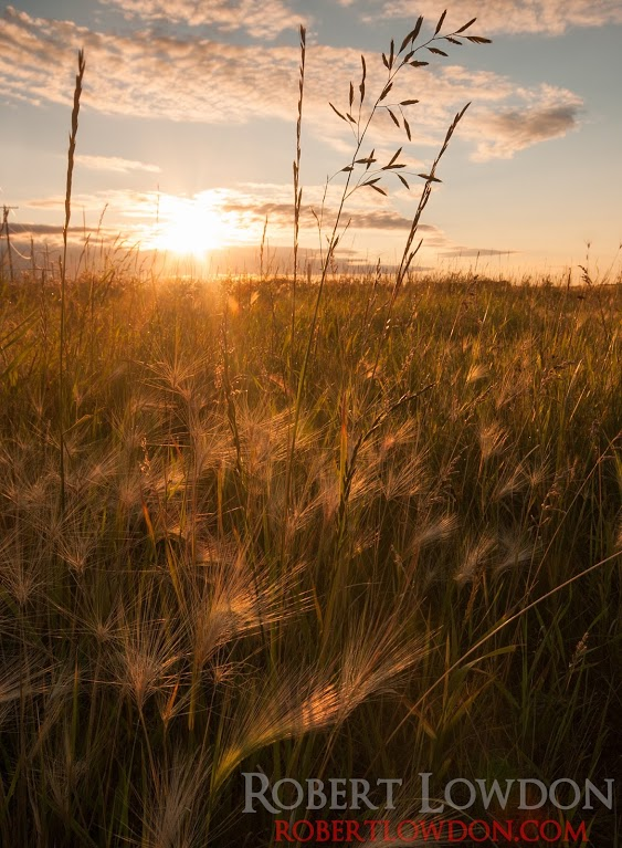 The sunsets with weeds in the foreground in Manitoba