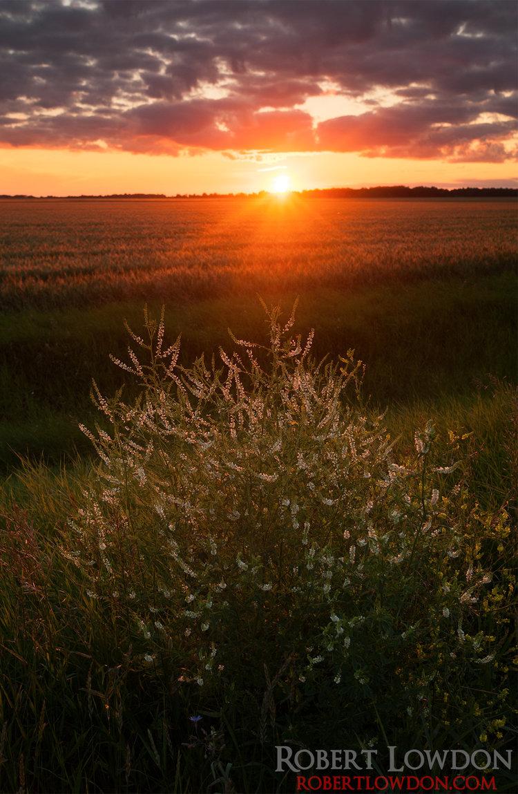 Field of Sun.  Photograph of the sun setting near Oakville, MB