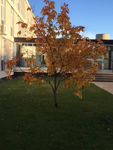 An autumn tree on campus. (Megan Cloet)