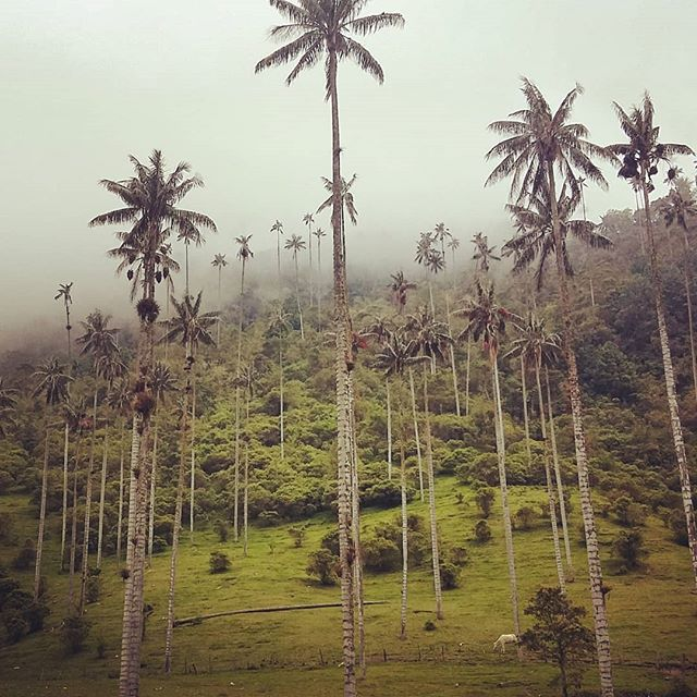 Palms palms palms #valledecocora #cocoravalley #salento #colombia #naturalpark #mountains #palms #waxpalms #travel #travelphotography #travelgram #instatravel #instamood #instadaily #blog #travelblogger  Photo © by patrickacquadro.com