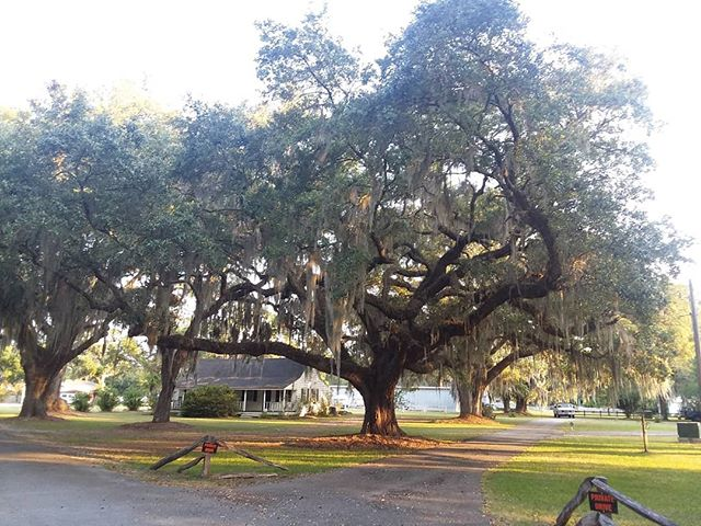 Live oak tree with Spanish moss which is a air plant.