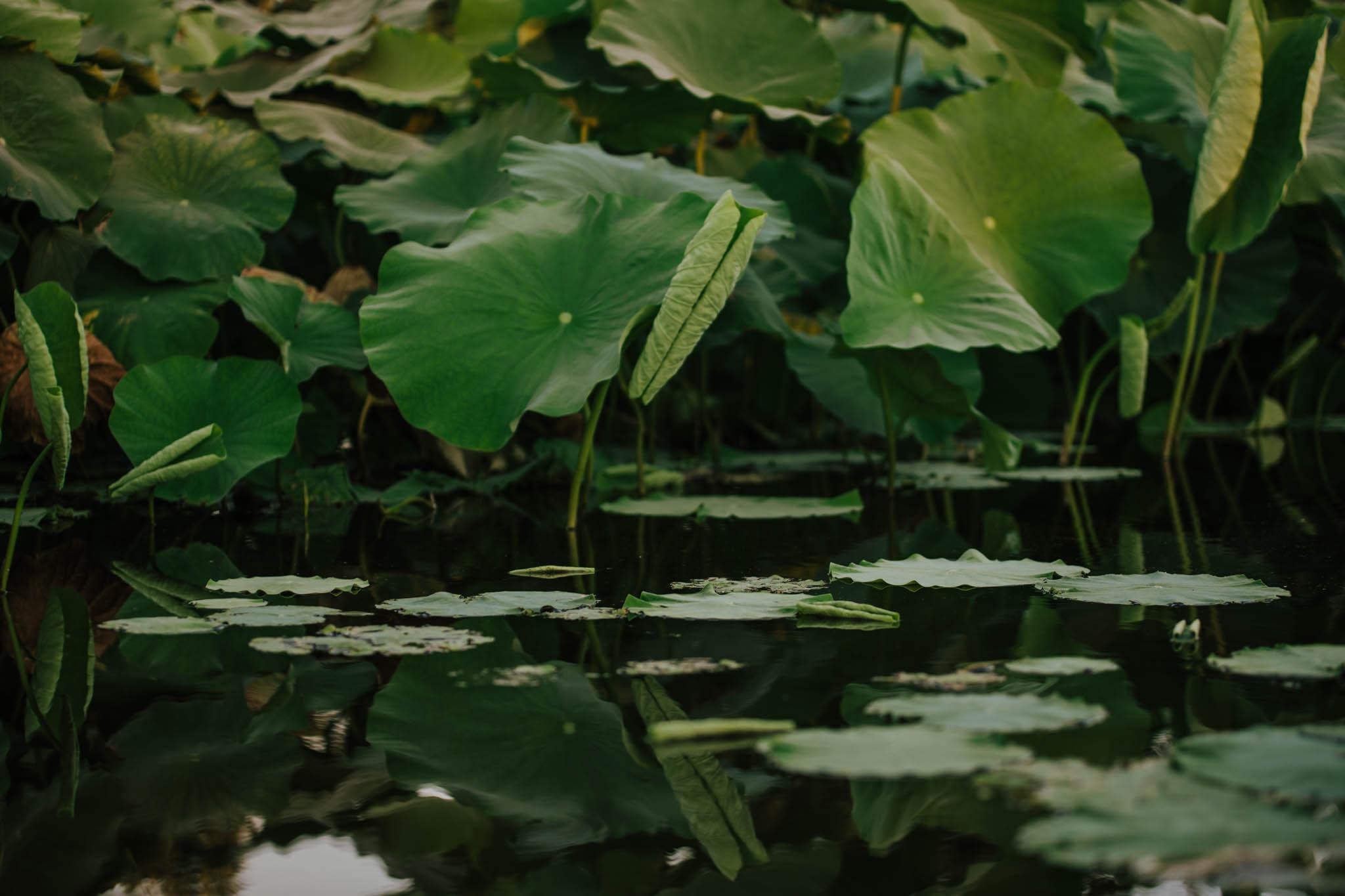 Lotus 2019-3681.jpg