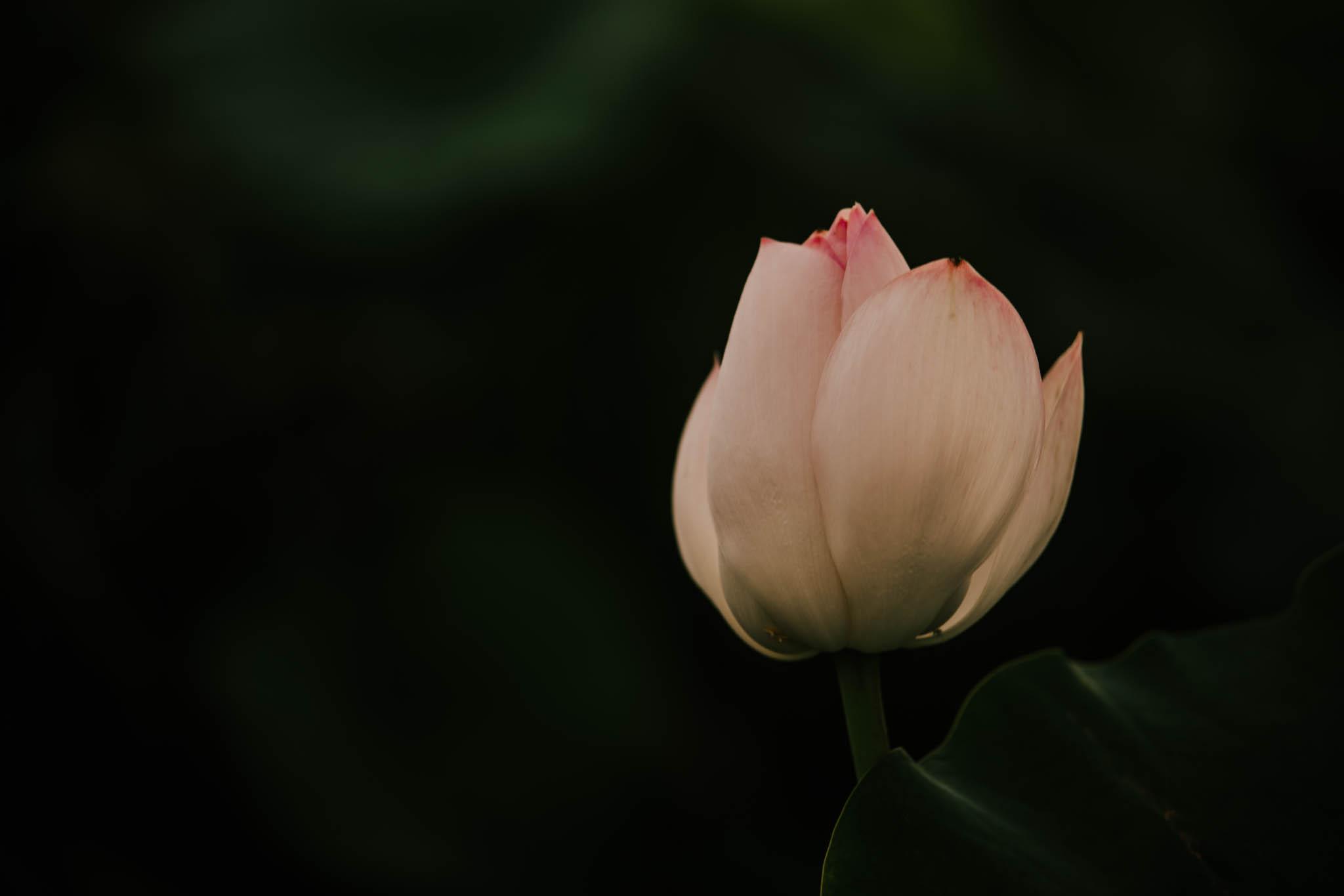 Lotus 2019-3752.jpg