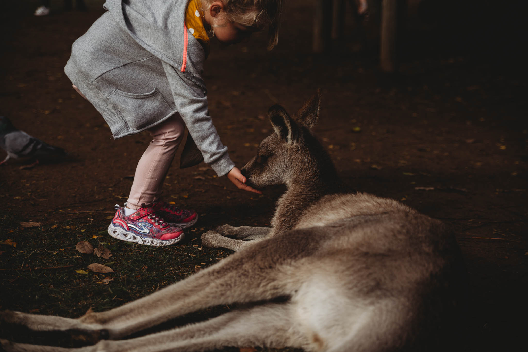 The kangaroos were quite well fed