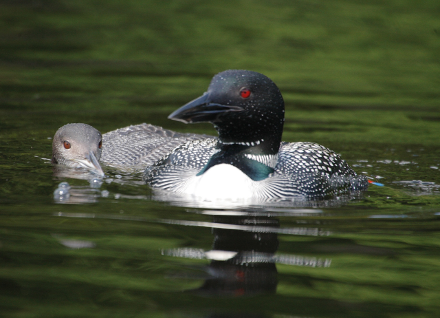 2013-NS Middle Pd Loon+chick.png