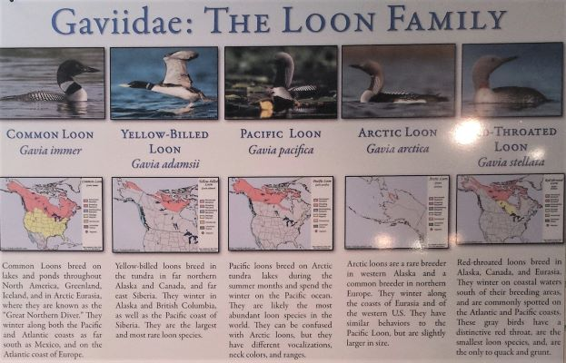 Learn about the  Gaviidae  - the Family of Loons.
