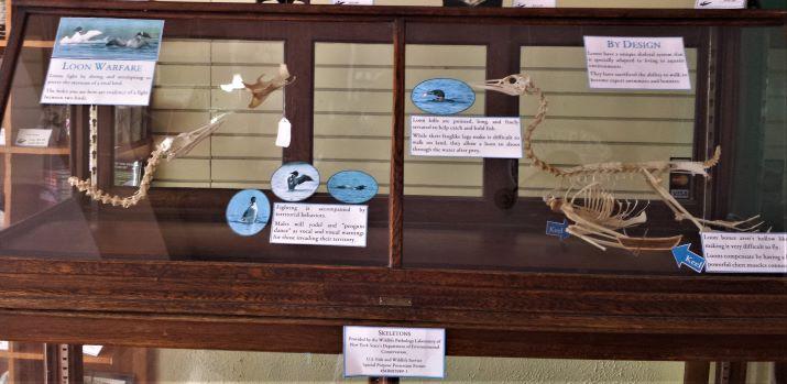 A preliminary loon anatomy/adaptation exhibit.