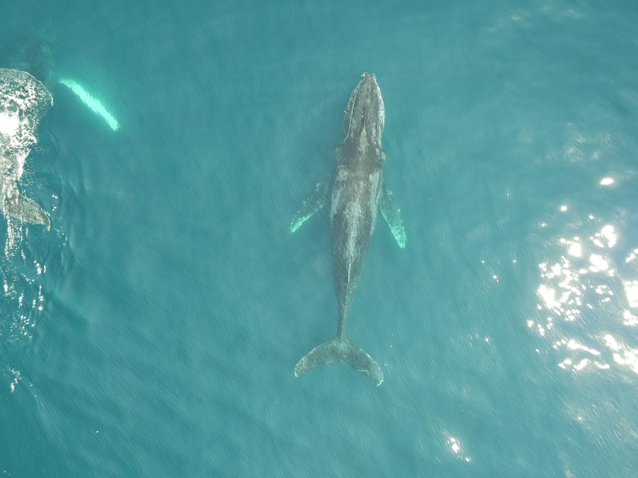 Humpback whale - gulf of chiriqui, Panama