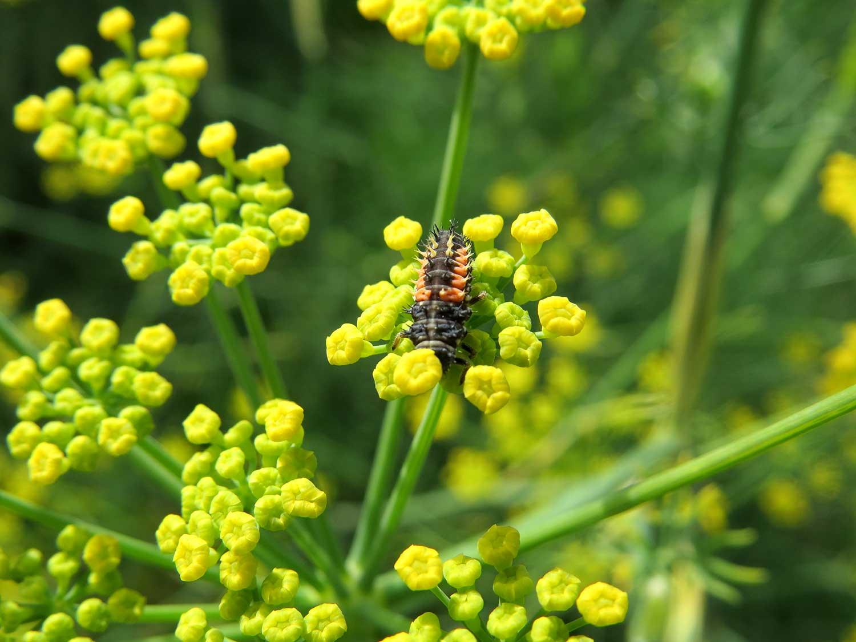 ladybug--larva-(002).jpg