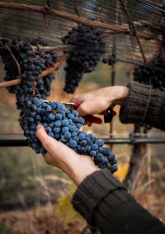 Grape-Harvest.jpg