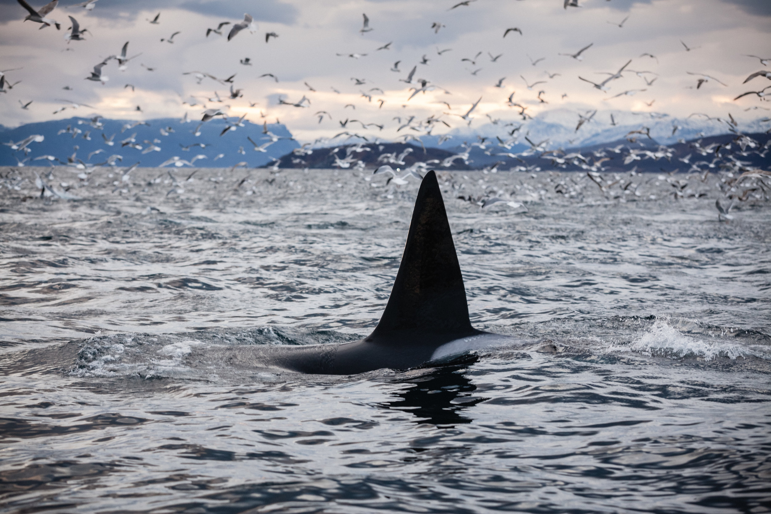 A male dorsal fin pokes out of the water amid the feeding frenzy.